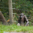 Chimpanzee in captivity — Stock Photo #6824740