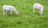 Sheep Grazing — Foto de Stock