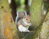 Squirrel in tree — Stock Photo