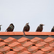 Starlings — Stock Photo
