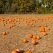 Pumpkin patch at the farm. — Stock Photo