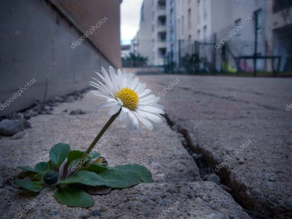 A picture of a daisy that grows on a paved town — Stock Photo #6859603