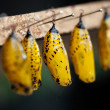 Butterfly pupa — Stock Photo #6874758