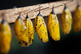 Butterfly pupa — Stock Photo