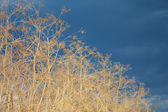 Podzimní rákosí a bouřlivá obloha — Stock fotografie