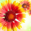 Colourful Gerberdaisies on sparkly background — Stock Photo #7218172