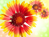 Colourful Gerbera daisies on a sparkly background — Stock Photo