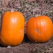 Ripe Pumpkins in a Field — Stock Photo