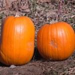 Ripe Pumpkins in a Field — Stock Photo #6782400