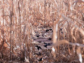 Crows in corn field — Stock Photo