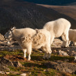 Mountian Goat with Kid — Stock Photo #6888455
