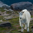 Mountian Goat with Kid — Stock Photo