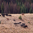 Cattle Drive — Stock Photo #7173001