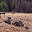 Cattle Drive — Stock Photo #7173021