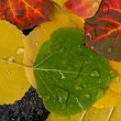 Colorful Aspen Leaves — Stock Photo #7260776