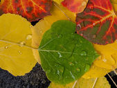 Colorful Aspen Leaves — Stock Photo