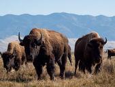 Buffalo Ranch — Stock Photo