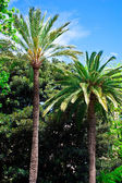 Tropical palm trees, Majorca. — Stockfoto