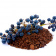 Blue Katoba grapes in soil - Foto de Stock