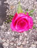 Rose growing out of tar toad — Stock Photo