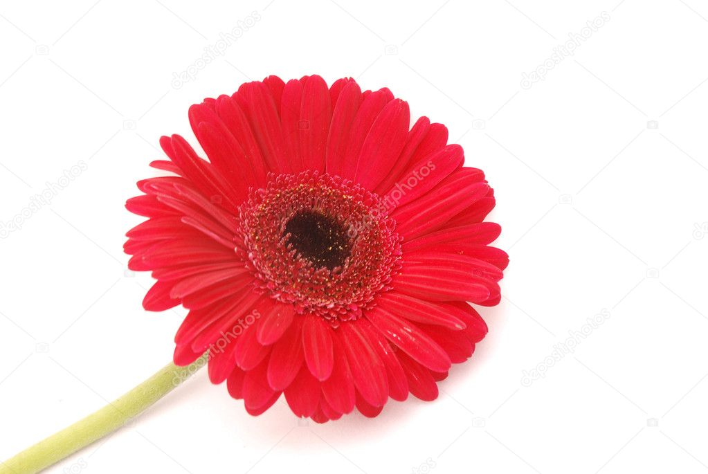 Big beautiful blossom closeup of a red Gerber daisy flower. Image isolated on white studio background. — Stock Photo #6950589