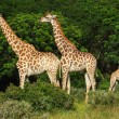 African giraffes — Stock Photo #7261446