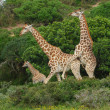 Stock Photo: Giraffes breeding