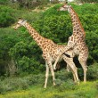 Giraffes mating - Stock Photo