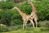 Giraffes mating — Stock Photo