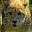Stock Photo: Cheetah portrait