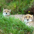 Stock Photo: AfricCheetahs