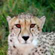 Постер, плакат: Cheetah portrait
