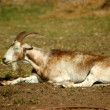 Royalty-Free Stock Photo: Goat resting