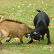 Постер, плакат: Goats fighting