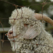 Angora goat — Stock Photo