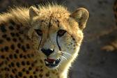Alert Cheetah — Stock Photo