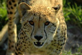 Cheetah portrait — Stock Photo
