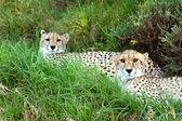 Gepardy afryki — Zdjęcie stockowe