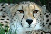 Cheetah porträtt — Stockfoto