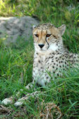 Alert Cheetah — Stockfoto