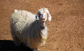 Angora goat — Foto de Stock