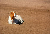 African Boer goat — Stock Photo