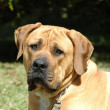 Boerboel dog — Stock Photo #7595437