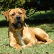 Boerboel — Stock Photo #7595448