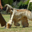 Afghan hound running — Stock Photo #7596483