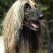 Royalty-Free Stock Photo: Afghan hound