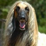 Afghan hound — Stock Photo #7596558