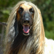 Afghhound — Stock Photo #7596558