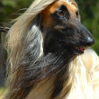 Afghan hound — Stock Photo