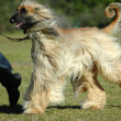 Afghan hound running — Stock Photo